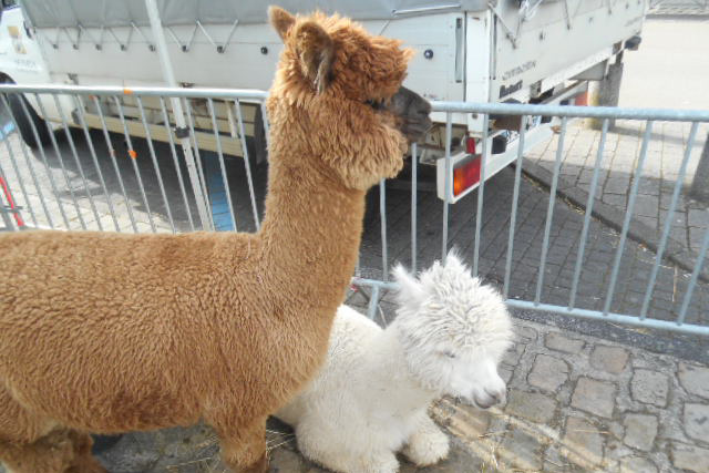 A mother and her baby alpaca were the star attraction of the childrens zoo at the Tonnerre Wine Festival which takes place each Easter