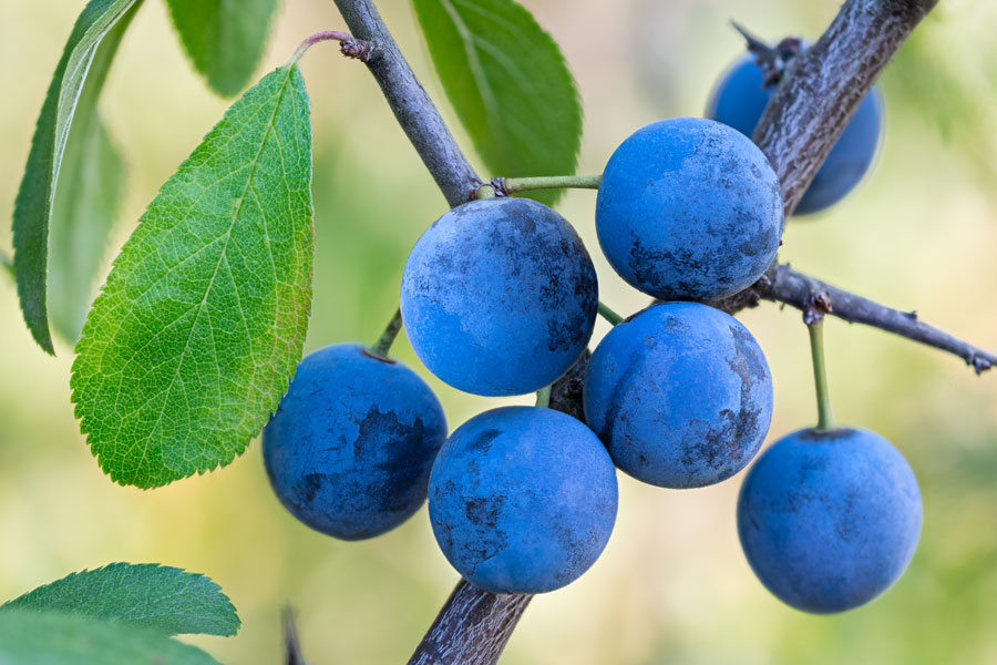 We foraged for our sloes along the banks of The River Yonne but you will find them in hedgerows all over France.  Just look for these tiny, blue plums in late October or early November
